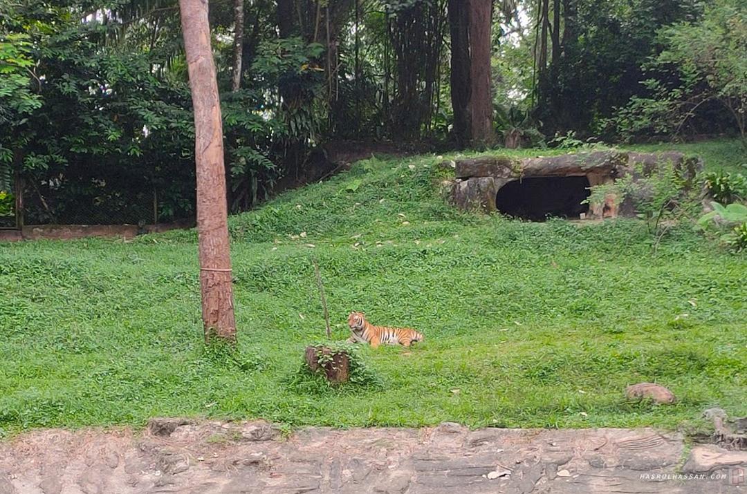 Harimau Belang