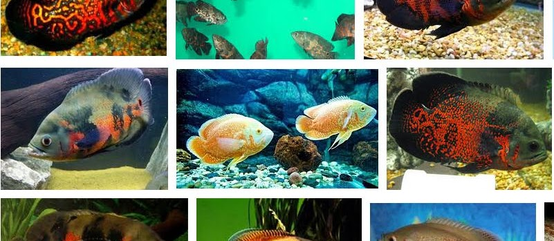 Mengenal Ikan Oscar Secara Detail