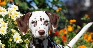Size and Weight of Dalmatian - Annie Many