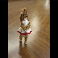 Cute Puppy Dog Walks Around on its Hind Legs