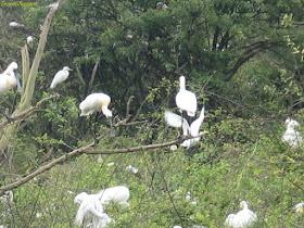 Eurasian Spoonbill at Gudavi Bird Sanctuary Shimoga
