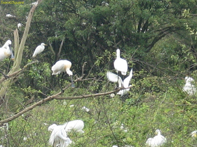 Eurasian Spoonbill at Gudavi Bird Sanctuary Shimoga