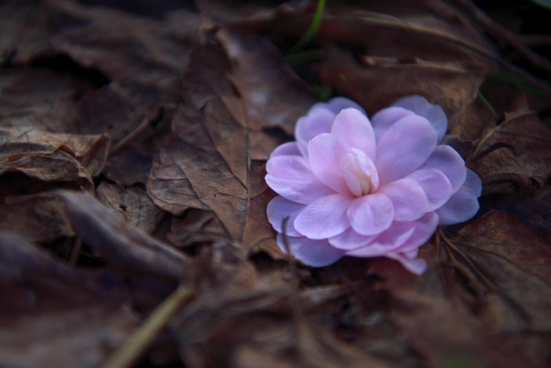 大乗寺丘陵公園の椿