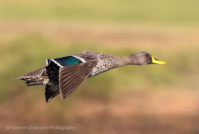 Yellow-Billed Duck in Flight : Canon EOS R at 400mm (100 - 400mm lens with 1.4 Extender)