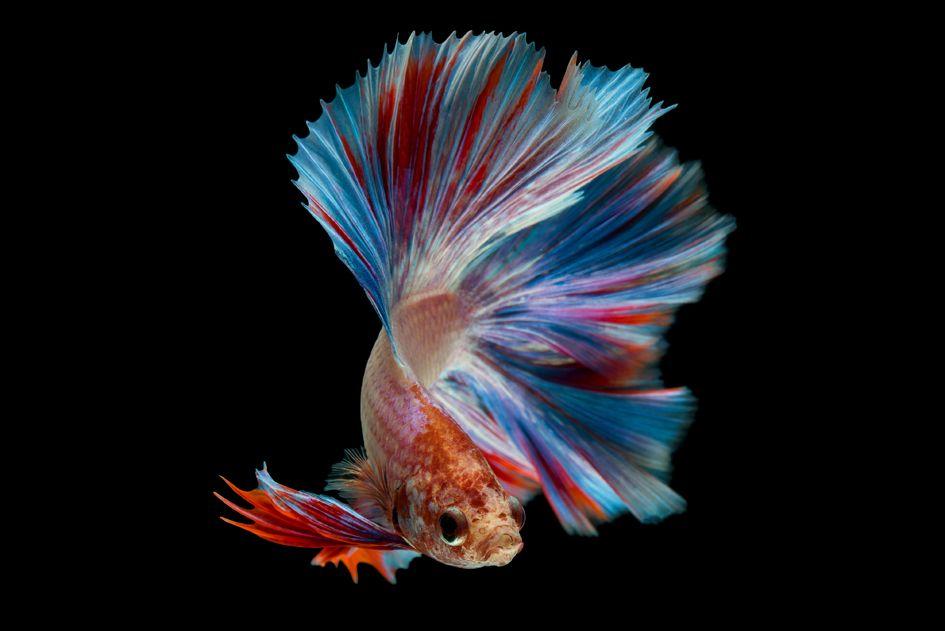 Fakta tentang Ikan Cupang