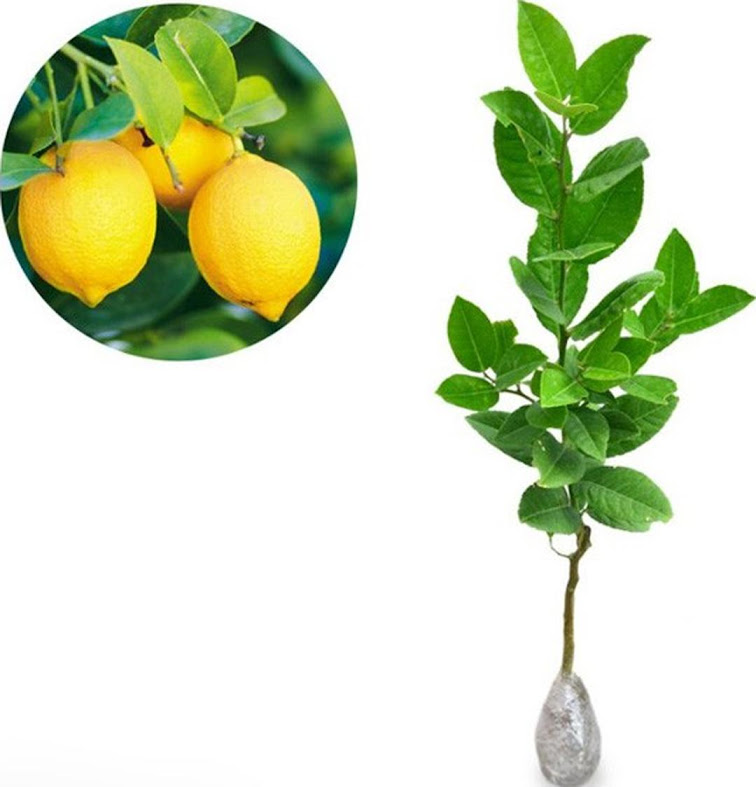 Bibit Tanaman Buah Jeruk Lemon Tea Tangerang