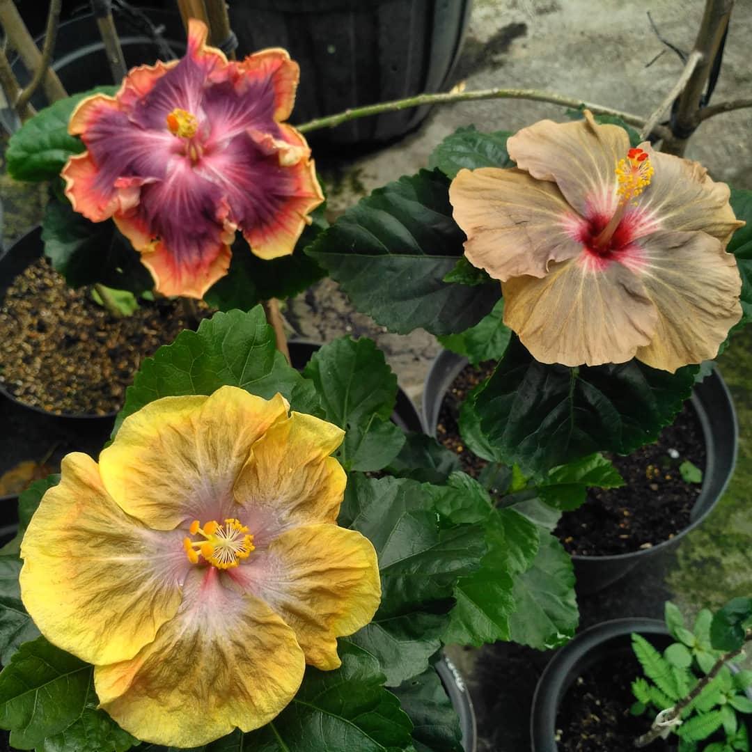 Menanam Hibiscus Dalam Pot