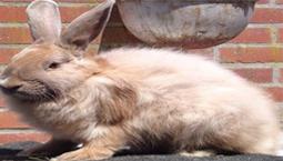 Konijnenrassen Vos konijn