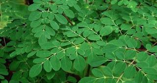 Manfaat daun kelor bagi kecantikan