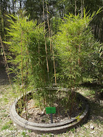 Mountain clumping bamboo - Kyoto Botanical Gardens, Japan