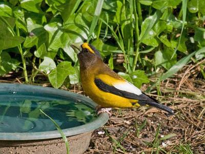 Photo of Evening Grosbeak at bird bath