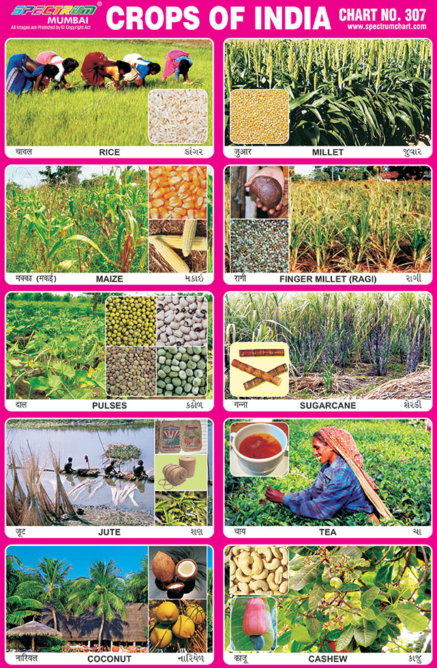 Spectrum Educational Charts: Chart 307 - Crops of India 1