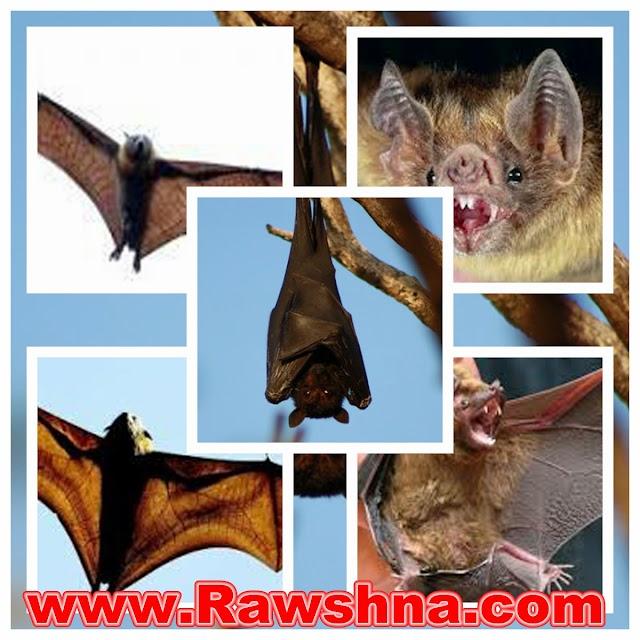 حقائق عن الخفافيش
