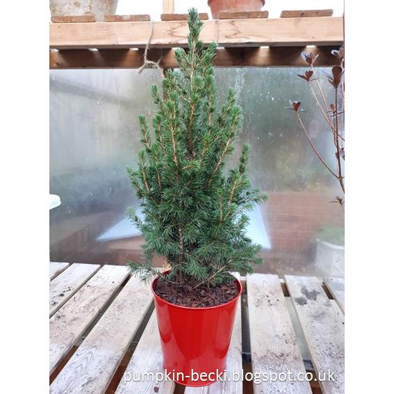 Picea abies Norway Spruce Christmas clearance stock