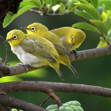 Jenis Dan Harga Burung Pleci Gacor Termahal