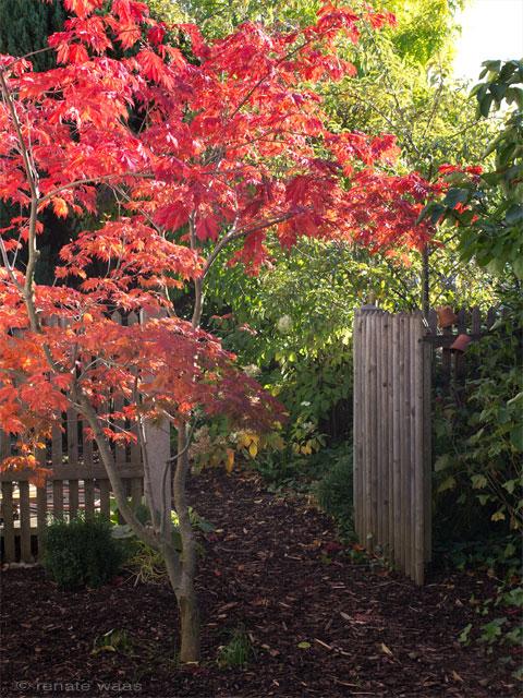 Acer japonicum aconitifolium - japanischer Ahorn, Lieblingsgehölze, Herbstfärbung bei Gehölzen, rotes Laub, prächtiges Laub im Herbst