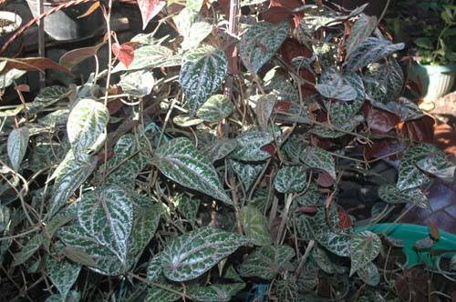 Red Betel Leaf, Apparently Can Eliminate 29 Diseases
