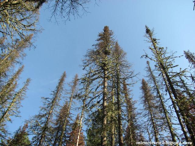 Красноярские столбы - мёртвые деревья, покрытые лишайником