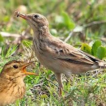Meracik Pakan Bijian Untuk Merangsang Burung Branjangan Rajin Berkicau