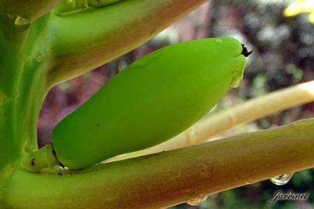 Fruto do mamoeiro de flores hermafroditas