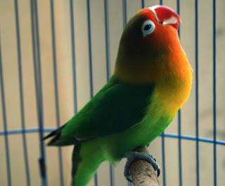 7 Bahan Racikan Tradisonal Untuk Pakan Burung Lovebird Agar Ngekek Panjang Yang Sudah Terbukti