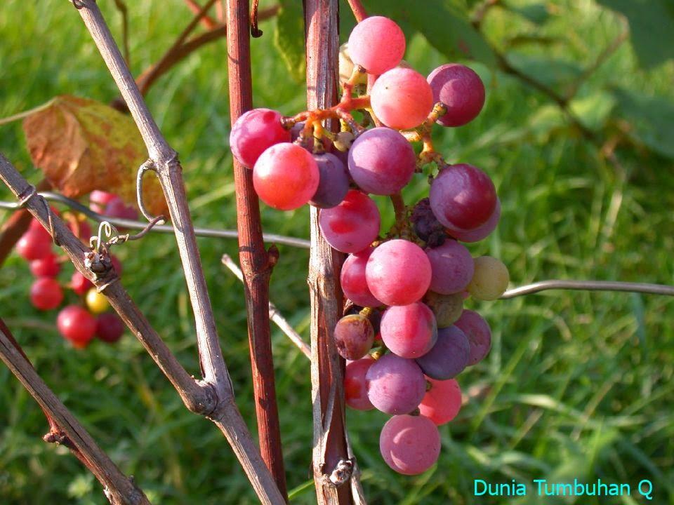87 Gambar Pohon Anggur Ungu Paling Bagus