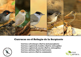 Currucas en el Refugio de la Serpiente