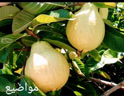 ماهي الجوافه -Guava