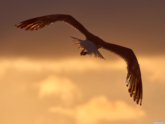 Gull Flying into the Sunset