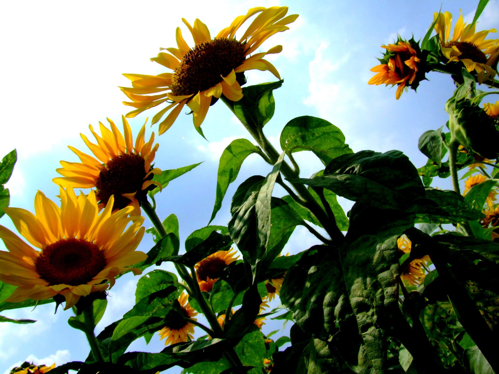 青空 黄色い向日葵(ヒマワリ) ひまわり写真素材