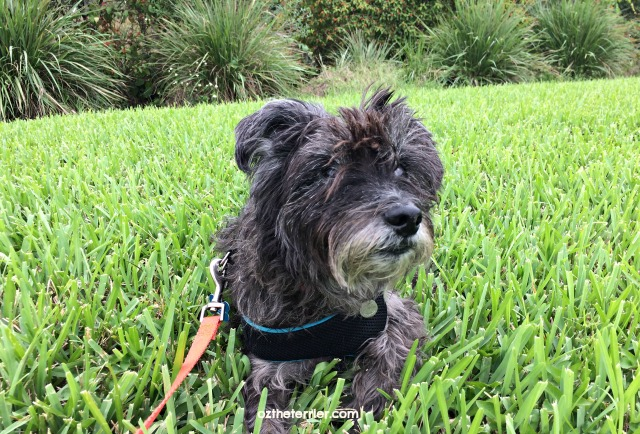 oz cairn terrier relaxing in grass