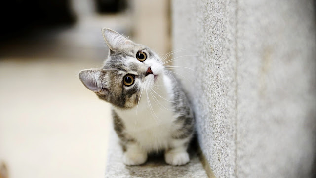 beautiful cat wallpaper