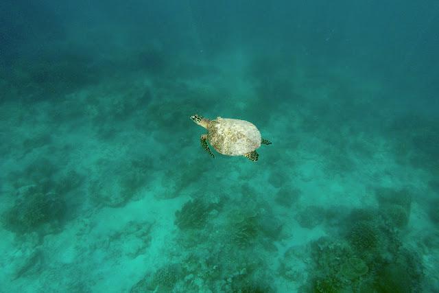 El tesoro más buscado en Gili Trawangan, una tortuga marina