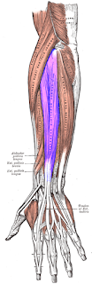 extesnor digitorium muscles- by  www.learningwayeasy.com