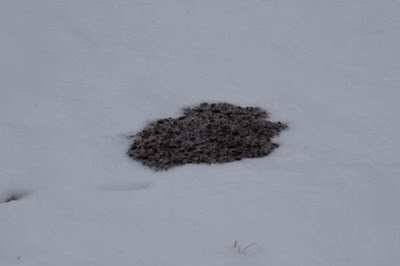 close-up of fresh pocket gopher mound