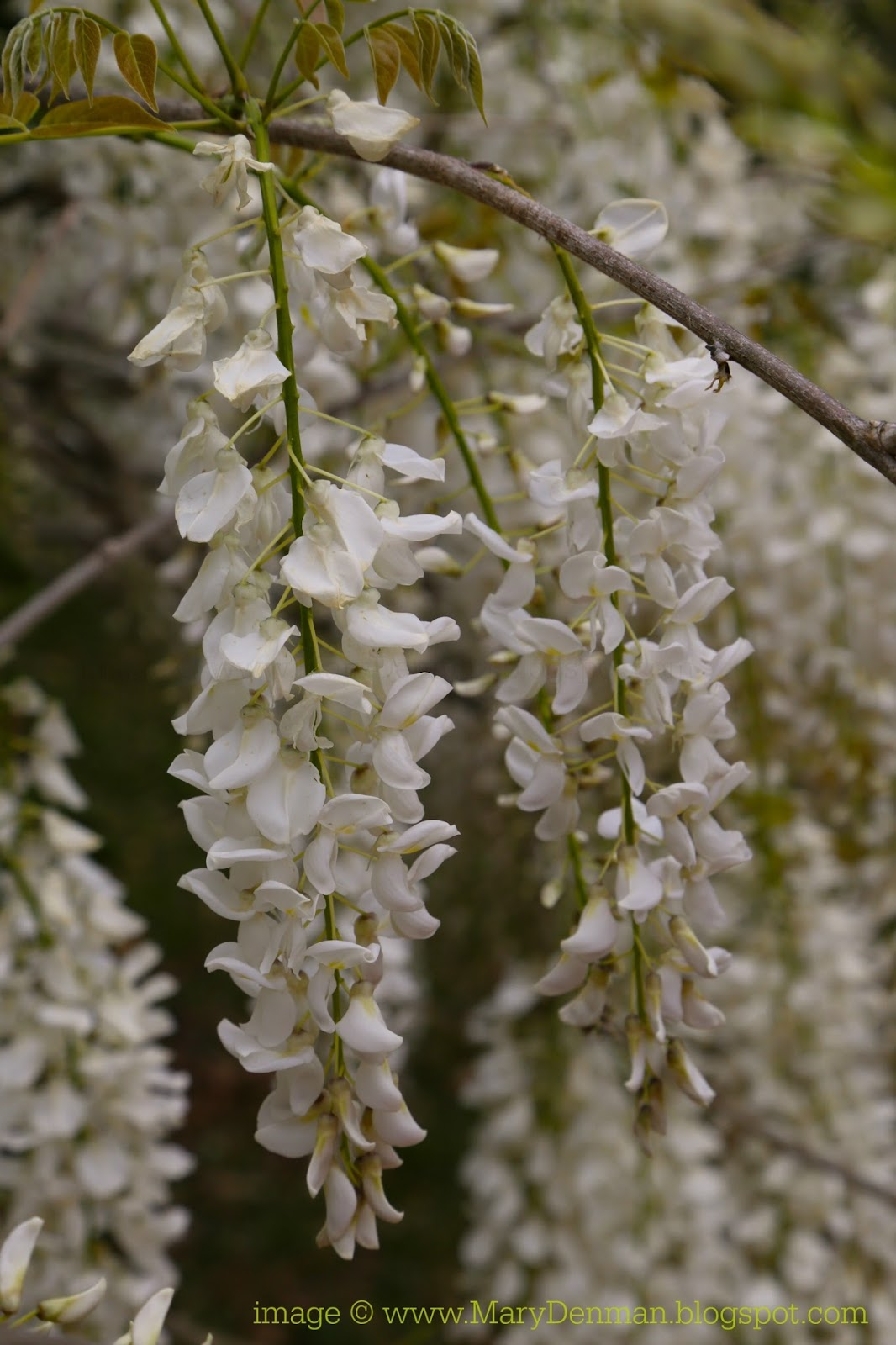 Steve White Vw >> Mary Denman: Wordless Wednesday: White Wisteria and our Puppy