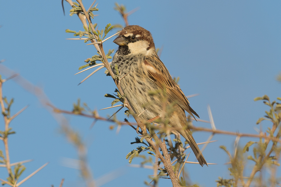 Spanish Sparrow breeding and much more – Haradh