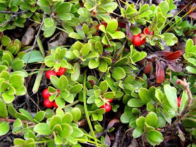 buah bearberry, macam-macam buah beri