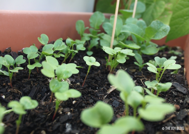 Radish Sprouts // WWW.THEJOYBLOG.NET