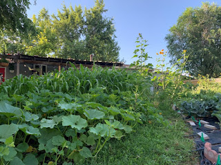 mass amounts of squash plants, six foot tall corn, and a few ten foot tall sunflowers
