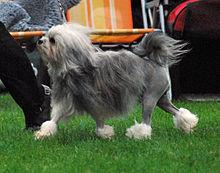 Löwchen dog at park