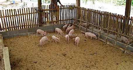 Kandang Babi Sederhana