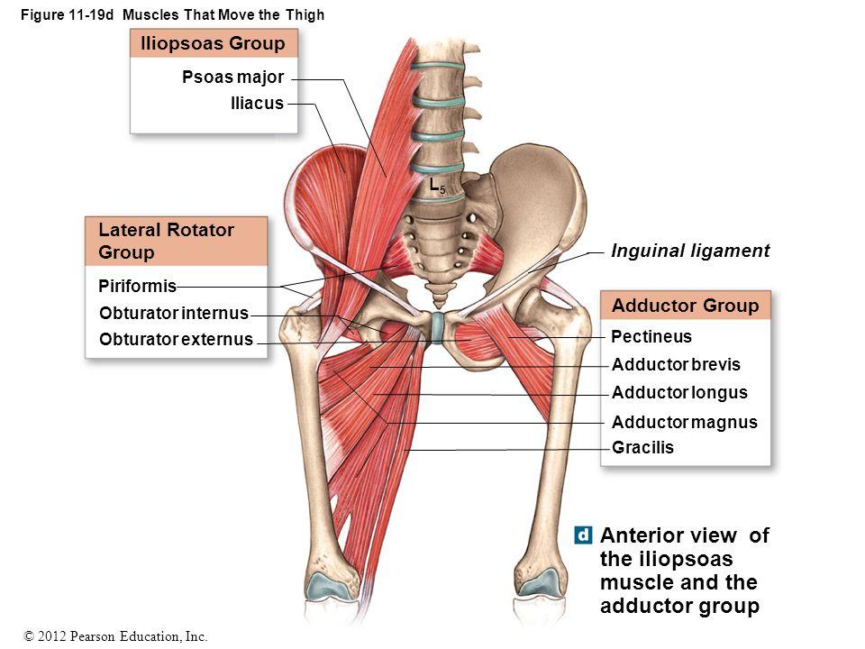 Hermosa Diagrama De Músculos De La Cadera Ideas - Anatomía de Las ...