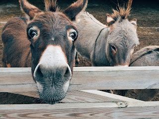 Three donkeys standing at a wooden gate in the pasture.