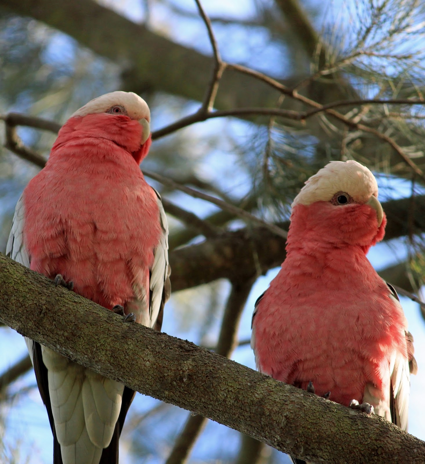 Picture of a pair of rose-breasted cockatoo or galah.