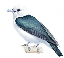Artamella viridis