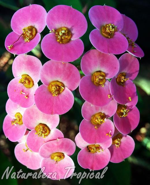 Flores rosadas de una Corona de Cristo o Corona de Espinas, Euphorbia milii