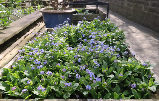 Raised wooden bed of myosotis plants next to a garden pathway