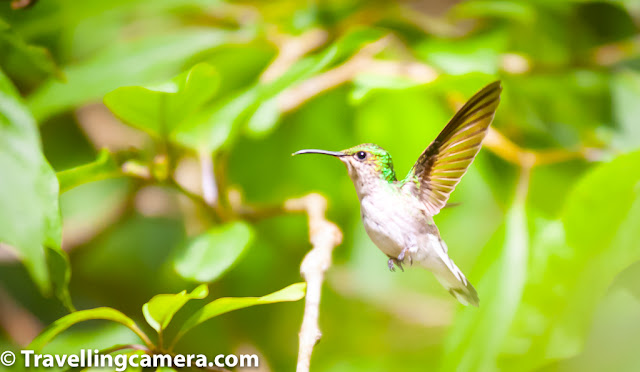 The first time I saw a hummingbird was in February 2019 in the famous crooked street of San Francisco. Before that, I had always wanted to see a hummingbird and would desperately search for them at various places in India. Somewhere at the back of my mind, I knew that there are no hummingbirds in India, but I was in constant denial of this.