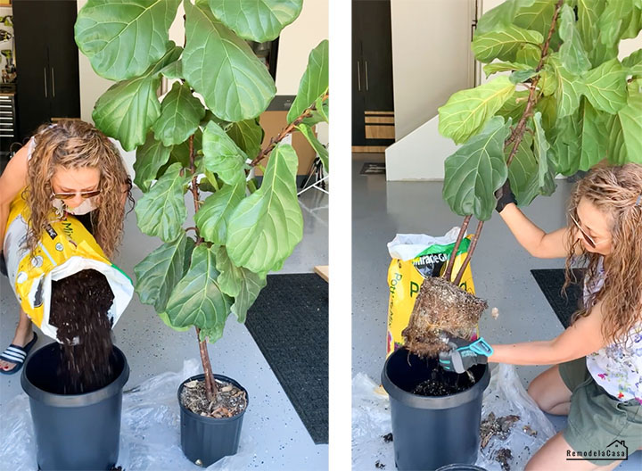 how to repot a fiddle leaf tree